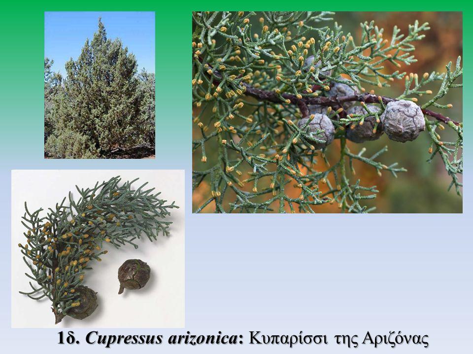 3.Γένος Thuja 3α. Thuja orientalis: Τούγια η ανατολική 3β.