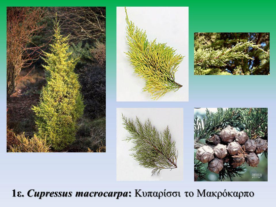 1ε. Cupressus macrocarpa: Κυπαρίσσι το Μακρόκαρπο