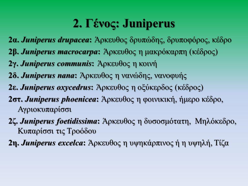 2α. Juniperus drupacea: Άρκευθος δρυπώδης, δρυποφόρος, κέδρο