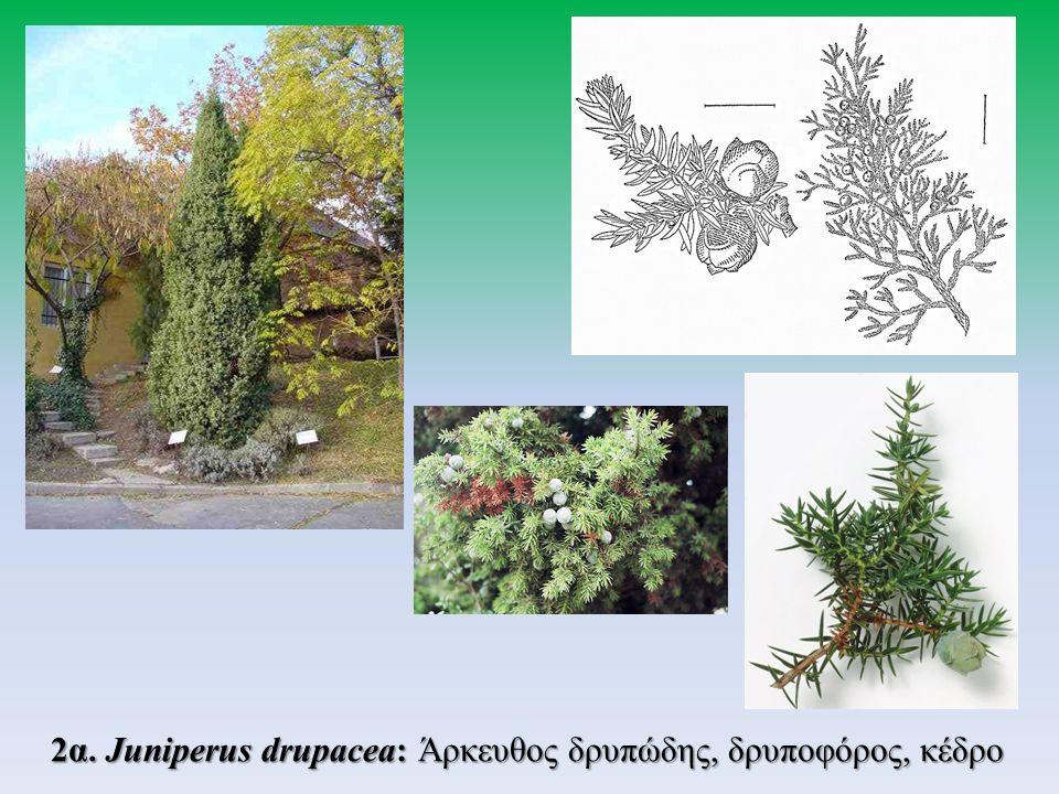 2β. Juniperus macrocarpa: Άρκευθος η μακρόκαρπη (κέδρος)