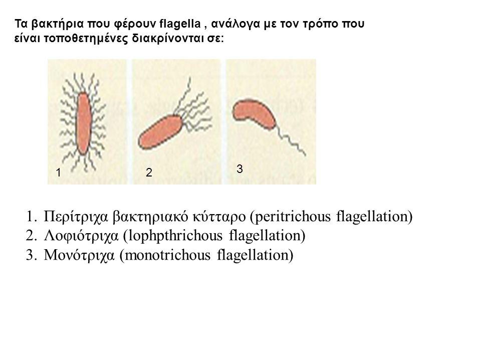 12 3 1.Περίτριχα βακτηριακό κύτταρο (peritrichous flagellation) 2.Λοφιότριχα (lophpthrichous flagellation) 3.Μονότριχα (monotrichous flagellation) Τα βακτήρια που φέρουν flagella, ανάλογα με τον τρόπο που είναι τοποθετημένες διακρίνονται σε: