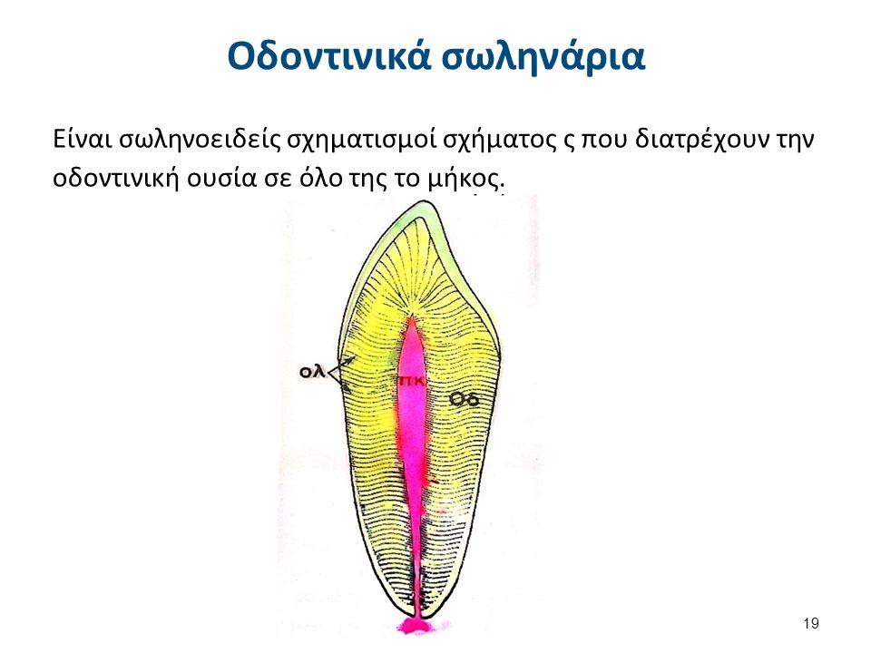 Οδοντινικά σωληνάρια Είναι σωληνοειδείς σχηματισμοί σχήματος ς που διατρέχουν την οδοντινική ουσία σε όλο της το μήκος.