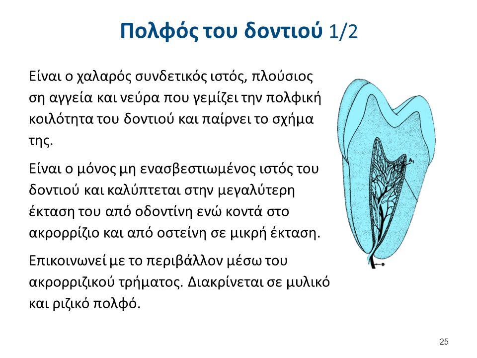 Πολφός του δοντιού 1/2 Είναι ο χαλαρός συνδετικός ιστός, πλούσιος ση αγγεία και νεύρα που γεμίζει την πολφική κοιλότητα του δοντιού και παίρνει το σχήμα της.
