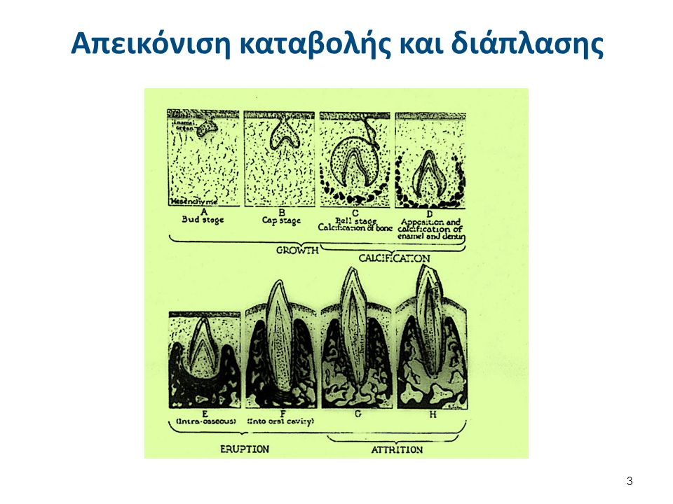 Οδοντίνη 1/2 Η οδοντίνη είναι ενασβεστιωμένος συνδετικός ιστός, ο οποίος δεν έχει αγγεία και κύτταρα και διαπερνάται από πολυάριθμα σωληνάρια.