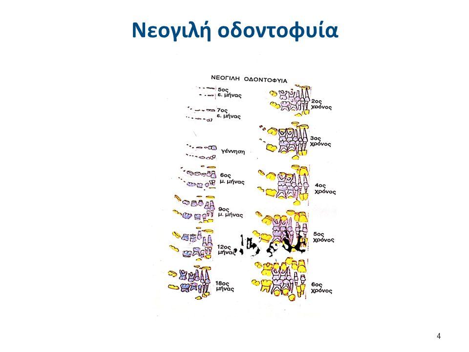 Διαφορές νεογιλών και μόνιμων δοντιών 1/4 Η γνώση των βασικών μορφολογικών διαφορών μεταξύ νεογιλών μονίμων δοντιών αποτελεί βασικό στοιχείο απαραίτητο για την αναγνώριση και διάκριση τους.