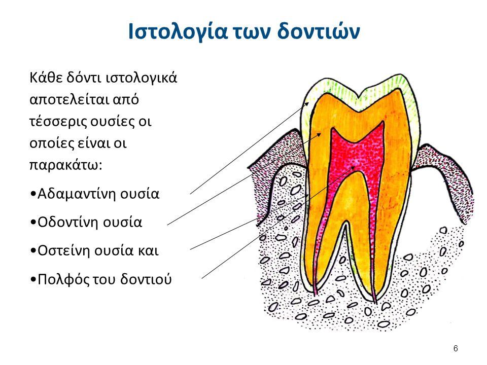 Ιστολογία των δοντιών Κάθε δόντι ιστολογικά αποτελείται από τέσσερις ουσίες οι οποίες είναι οι παρακάτω: Αδαμαντίνη ουσία Οδοντίνη ουσία Οστείνη ουσία και Πολφός του δοντιού 6
