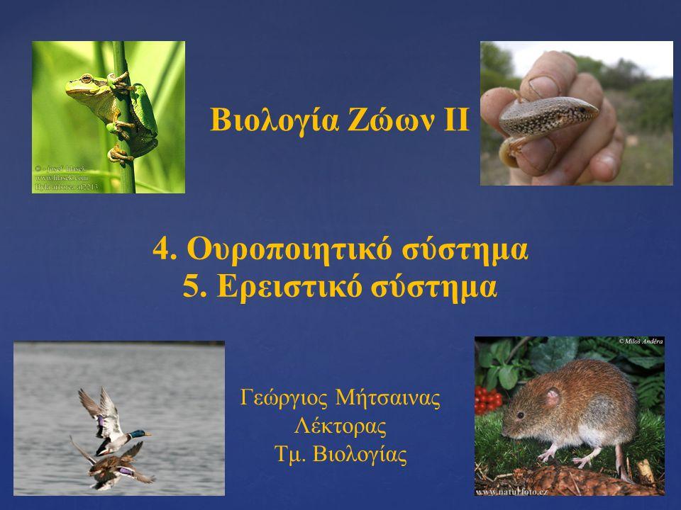 Βιολογία Ζώων ΙΙ 4. Ουροποιητικό σύστημα Γεώργιος Μήτσαινας Λέκτορας Τμ. Βιολογίας 5. Ερειστικό σύστημα
