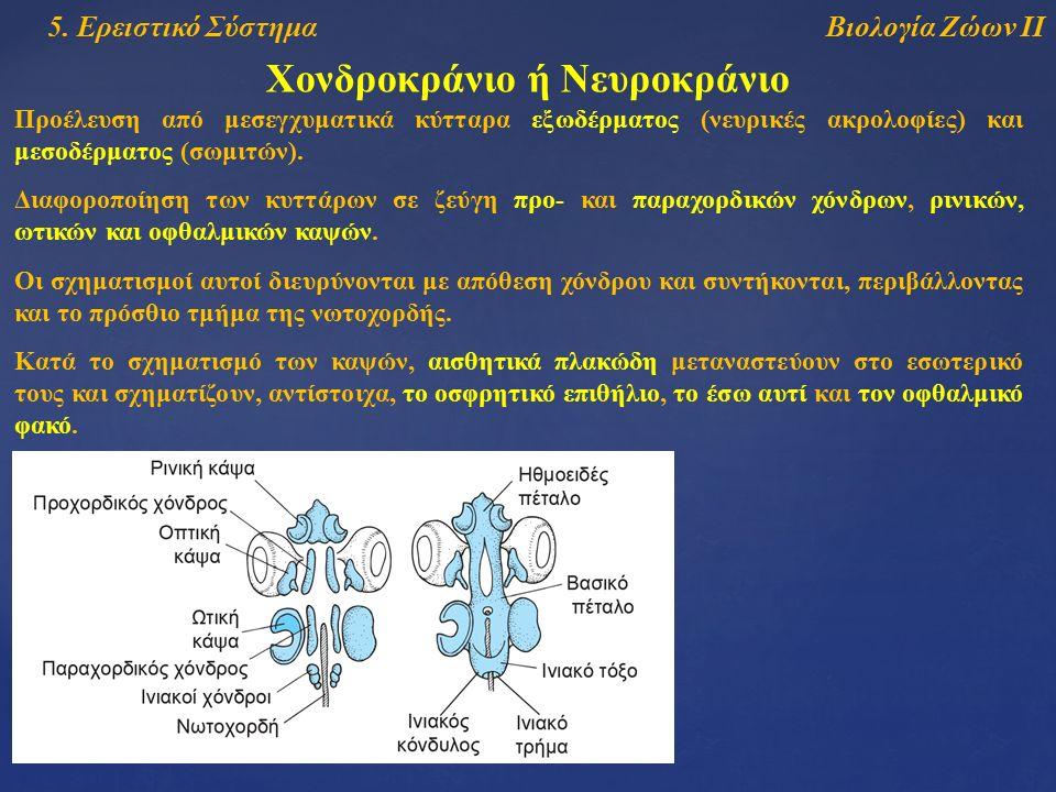 Βιολογία Ζώων ΙΙ5. Ερειστικό Σύστημα Χονδροκράνιο ή Νευροκράνιο Προέλευση από μεσεγχυματικά κύτταρα εξωδέρματος (νευρικές ακρολοφίες) και μεσοδέρματος
