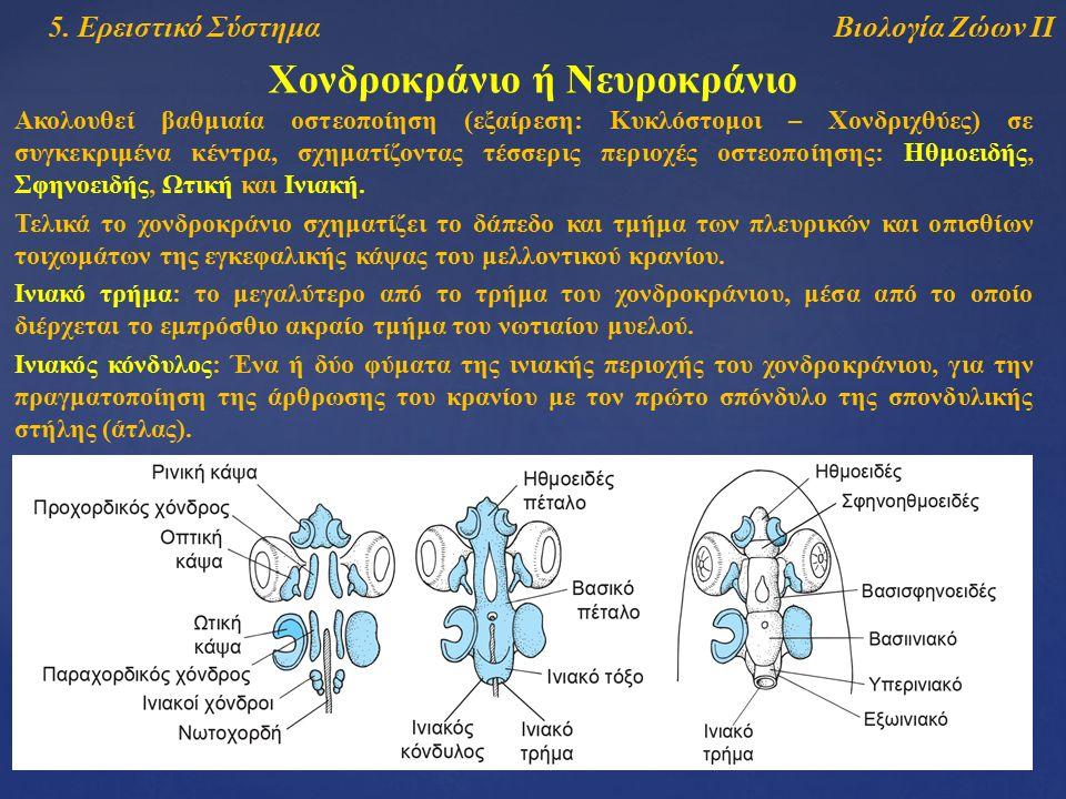 Βιολογία Ζώων ΙΙ5. Ερειστικό Σύστημα Χονδροκράνιο ή Νευροκράνιο Ακολουθεί βαθμιαία οστεοποίηση (εξαίρεση: Κυκλόστομοι – Χονδριχθύες) σε συγκεκριμένα κ