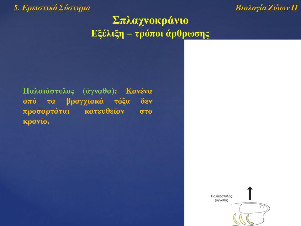 Βιολογία Ζώων ΙΙ5. Ερειστικό Σύστημα Σπλαχνοκράνιο Εξέλιξη – τρόποι άρθρωσης Παλαιόστυλος (άγναθα): Κανένα από τα βραγχιακά τόξα δεν προσαρτάται κατευ