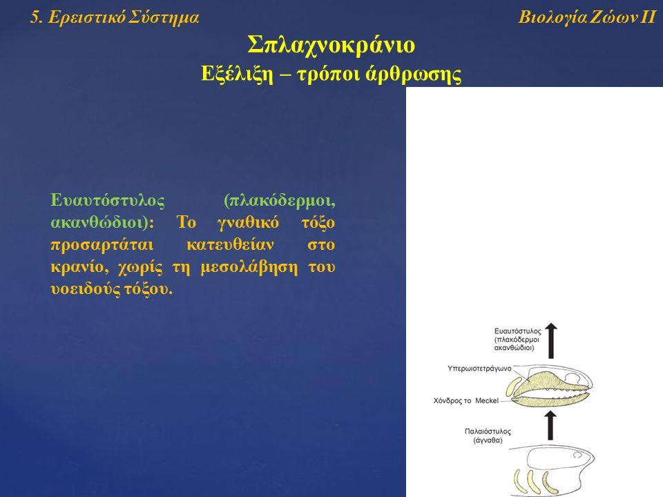 Βιολογία Ζώων ΙΙ5. Ερειστικό Σύστημα Σπλαχνοκράνιο Εξέλιξη – τρόποι άρθρωσης Ευαυτόστυλος (πλακόδερμοι, ακανθώδιοι): Το γναθικό τόξο προσαρτάται κατευ