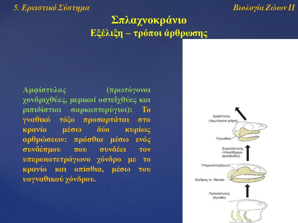 Βιολογία Ζώων ΙΙ5. Ερειστικό Σύστημα Σπλαχνοκράνιο Εξέλιξη – τρόποι άρθρωσης Αμφίστυλος (πρωτόγονοι χονδριχθύες, μερικοί οστεϊχθύες και ριπιδίστιοι σα