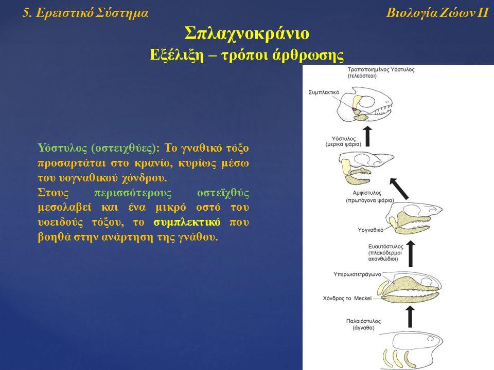 Βιολογία Ζώων ΙΙ5. Ερειστικό Σύστημα Σπλαχνοκράνιο Εξέλιξη – τρόποι άρθρωσης Υόστυλος (οστειχθύες): Το γναθικό τόξο προσαρτάται στο κρανίο, κυρίως μέσ