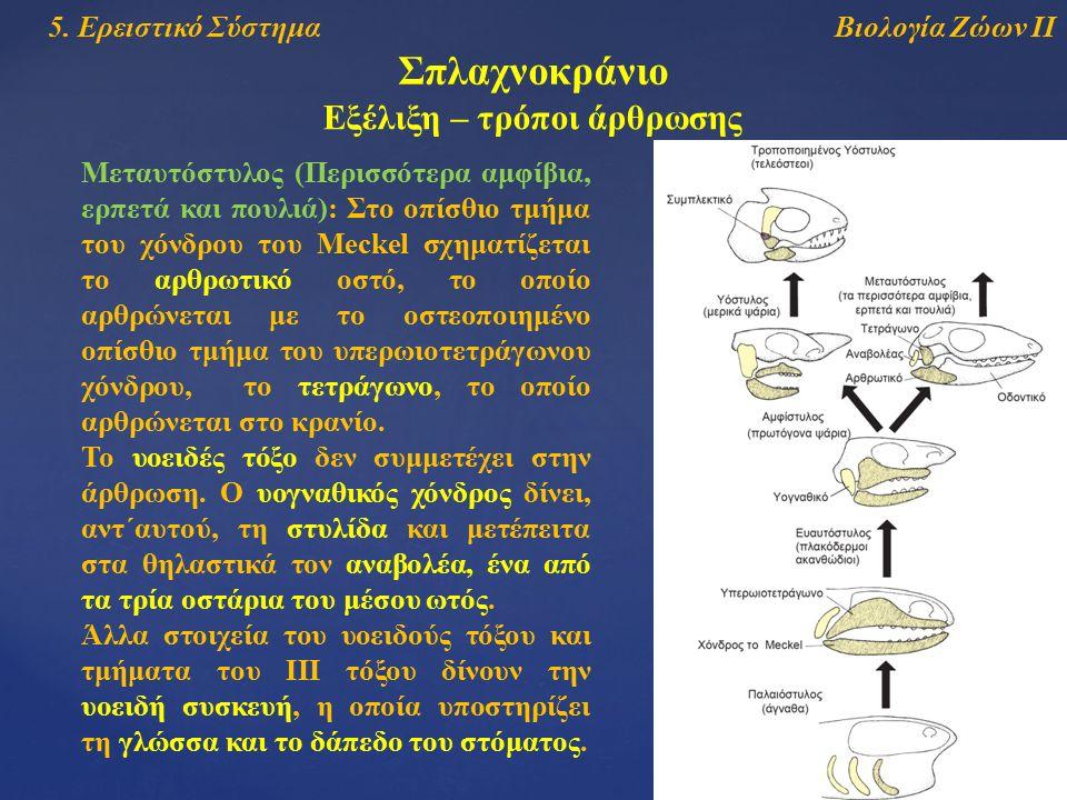 Βιολογία Ζώων ΙΙ5. Ερειστικό Σύστημα Σπλαχνοκράνιο Εξέλιξη – τρόποι άρθρωσης Μεταυτόστυλος (Περισσότερα αμφίβια, ερπετά και πουλιά): Στο οπίσθιο τμήμα