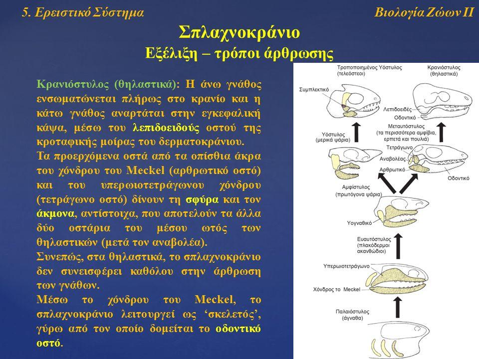 Βιολογία Ζώων ΙΙ5. Ερειστικό Σύστημα Σπλαχνοκράνιο Εξέλιξη – τρόποι άρθρωσης Κρανιόστυλος (θηλαστικά): Η άνω γνάθος ενσωματώνεται πλήρως στο κρανίο κα