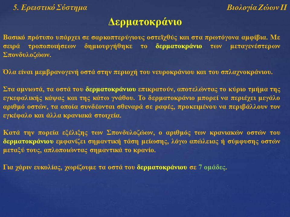 Βιολογία Ζώων ΙΙ5. Ερειστικό Σύστημα Δερματοκράνιο Βασικό πρότυπο υπάρχει σε σαρκοπτερύγιους οστεϊχθύς και στα πρωτόγονα αμφίβια. Με σειρά τροποποιήσε