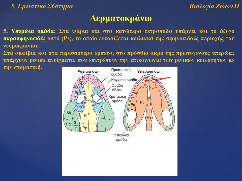 Βιολογία Ζώων ΙΙ5. Ερειστικό Σύστημα Δερματοκράνιο 5. Υπερώια ομάδα: Στα ψάρια και στα κατώτερα τετράποδα υπάρχει και το άζυγο παρασφηνοειδές οστό (Ps