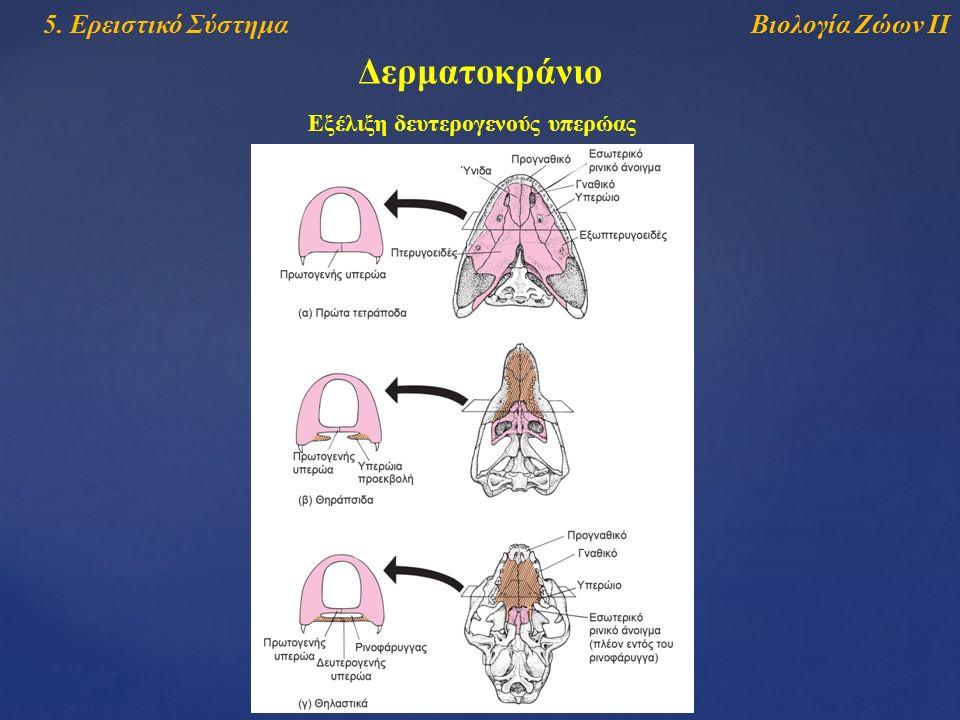 Βιολογία Ζώων ΙΙ5. Ερειστικό Σύστημα Δερματοκράνιο Εξέλιξη δευτερογενούς υπερώας