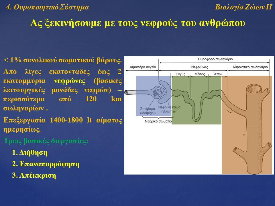 Βιολογία Ζώων ΙΙ4. Ουροποιητικό Σύστημα Ας ξεκινήσουμε με τους νεφρούς του ανθρώπου < 1% συνολικού σωματικού βάρους. Από λίγες εκατοντάδες έως 2 εκατο