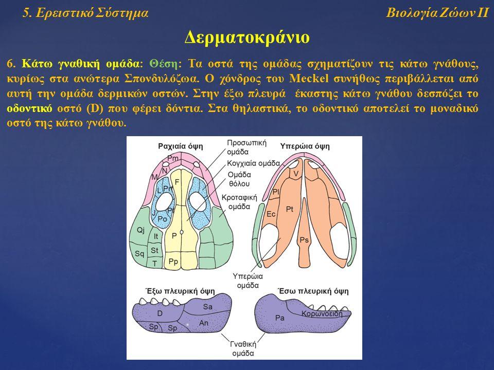 Βιολογία Ζώων ΙΙ5. Ερειστικό Σύστημα Δερματοκράνιο 6. Κάτω γναθική ομάδα: Θέση: Τα οστά της ομάδας σχηματίζουν τις κάτω γνάθους, κυρίως στα ανώτερα Σπ