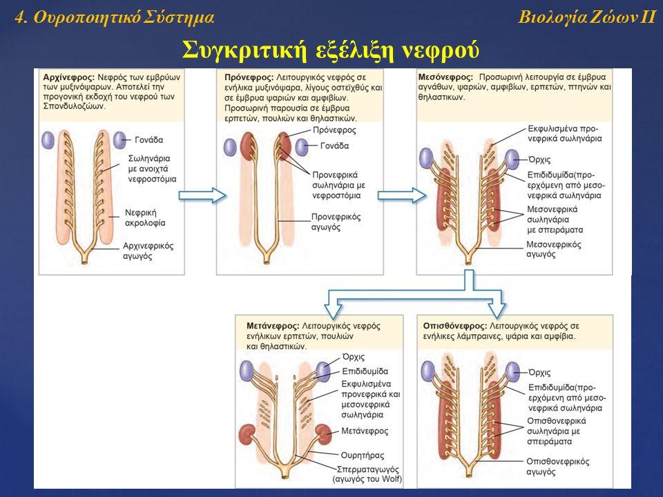 Βιολογία Ζώων ΙΙ4. Ουροποιητικό Σύστημα Συγκριτική εξέλιξη νεφρού
