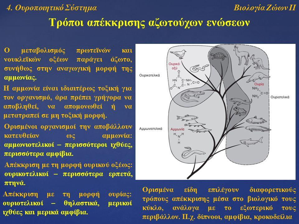 Βιολογία Ζώων ΙΙ4. Ουροποιητικό Σύστημα Τρόποι απέκκρισης αζωτούχων ενώσεων Ο μεταβολισμός πρωτεϊνών και νουκλεϊκών οξέων παράγει άζωτο, συνήθως στην