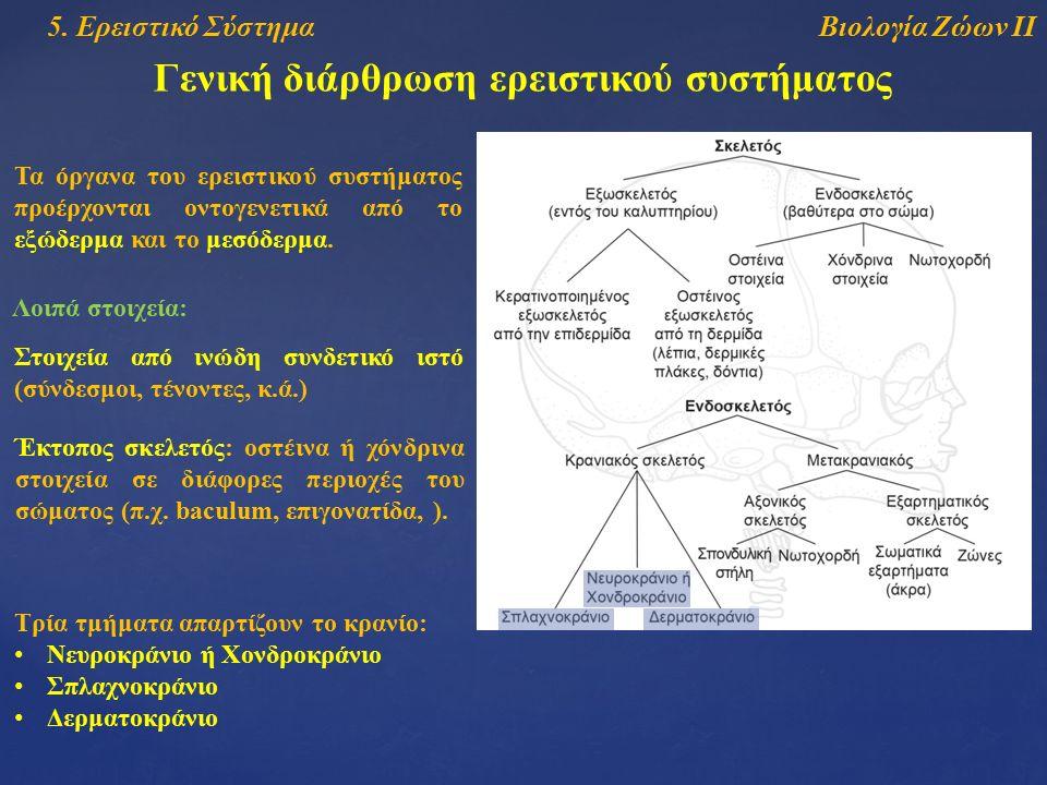 Βιολογία Ζώων ΙΙ5. Ερειστικό Σύστημα Γενική διάρθρωση ερειστικού συστήματος Τα όργανα του ερειστικού συστήματος προέρχονται οντογενετικά από το εξώδερ