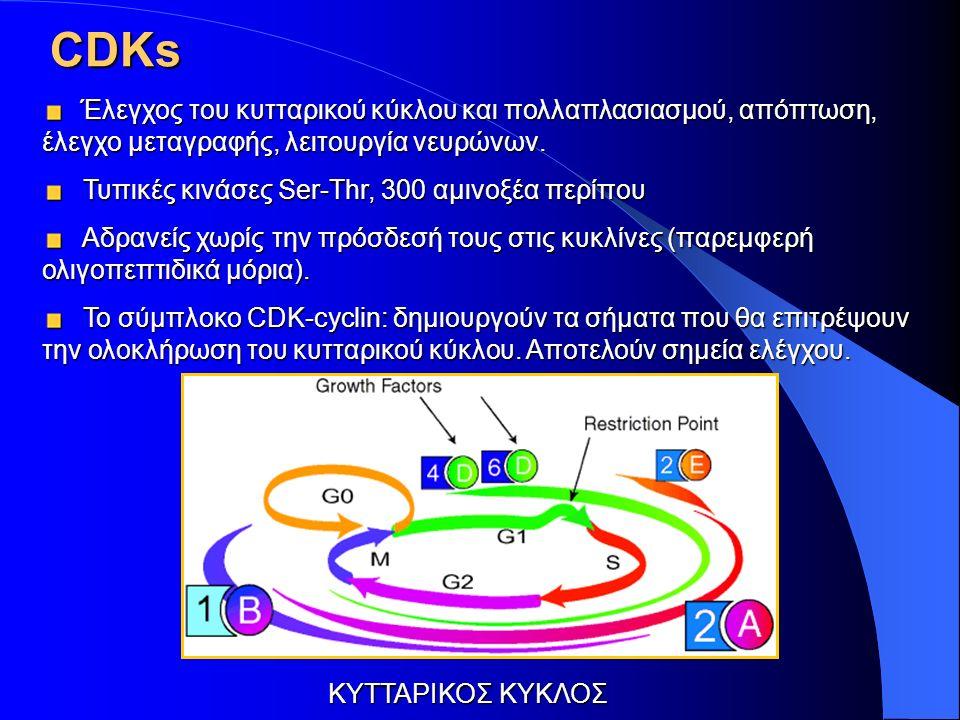 CDKs Έλεγχος του κυτταρικού κύκλου και πολλαπλασιασμού, απόπτωση, έλεγχο μεταγραφής, λειτουργία νευρώνων.