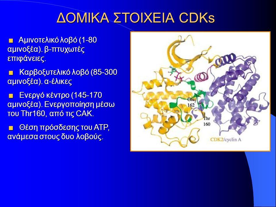 ΔΟΜΙΚΑ ΣΤΟΙΧΕΙΑ CDKs Αμινοτελικό λοβό (1-80 αμινοξέα).