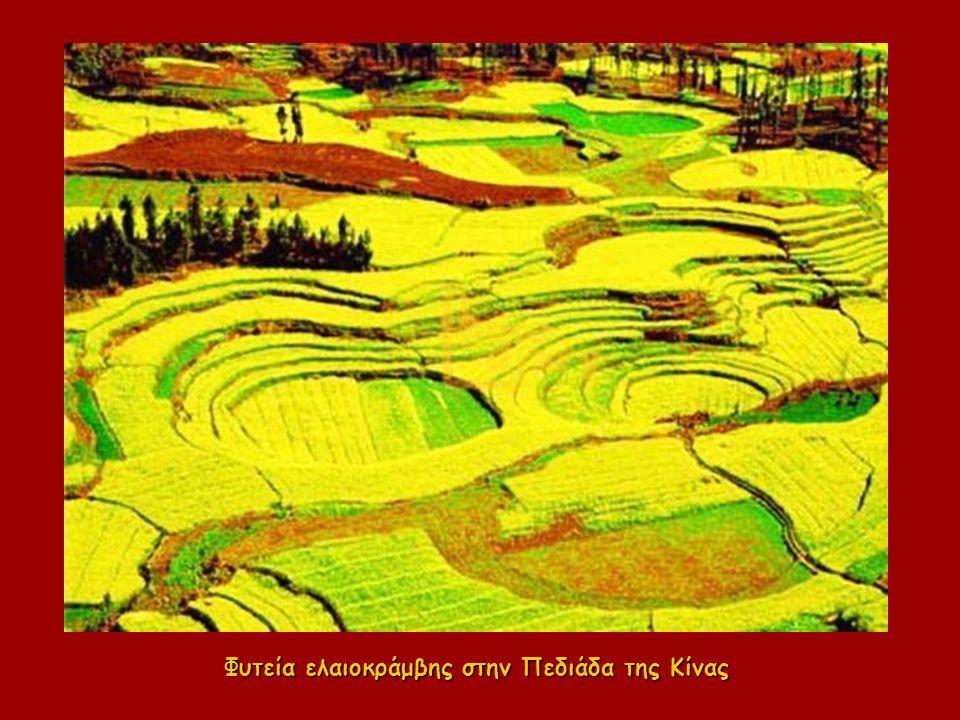 Φυτεία ελαιοκράμβης στην Πεδιάδα της Κίνας