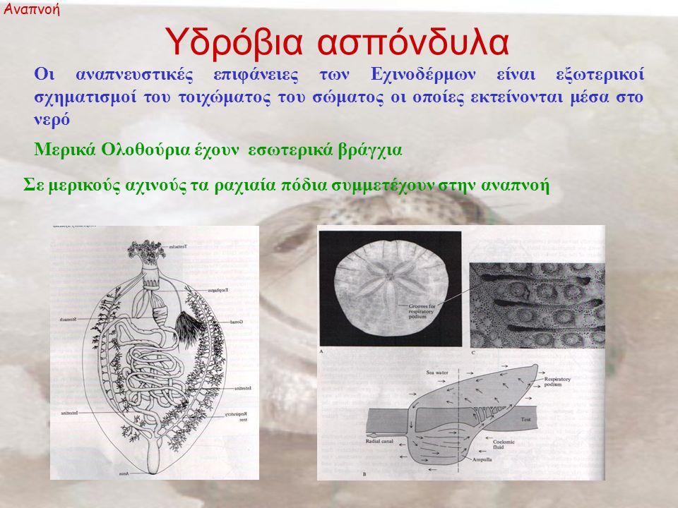 Υδρόβια ασπόνδυλα Αναπνοή Οι αναπνευστικές επιφάνειες των Εχινoδέρμων είναι εξωτερικοί σχηματισμοί του τοιχώματος του σώματος οι οποίες εκτείνονται μέσα στο νερό Μερικά Ολοθούρια έχουν εσωτερικά βράγχια Σε μερικούς αχινούς τα ραχιαία πόδια συμμετέχουν στην αναπνοή