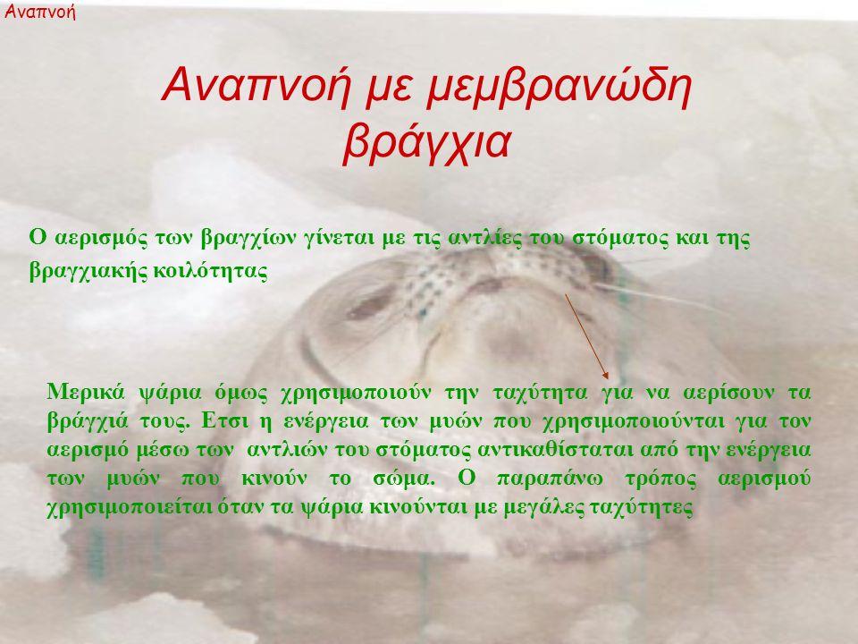 Αναπνοή με μεμβρανώδη βράγχια Αναπνοή Ο αερισμός των βραγχίων γίνεται με τις αντλίες του στόματος και της βραγχιακής κοιλότητας Μερικά ψάρια όμως χρησιμοποιούν την ταχύτητα για να αερίσουν τα βράγχιά τους.