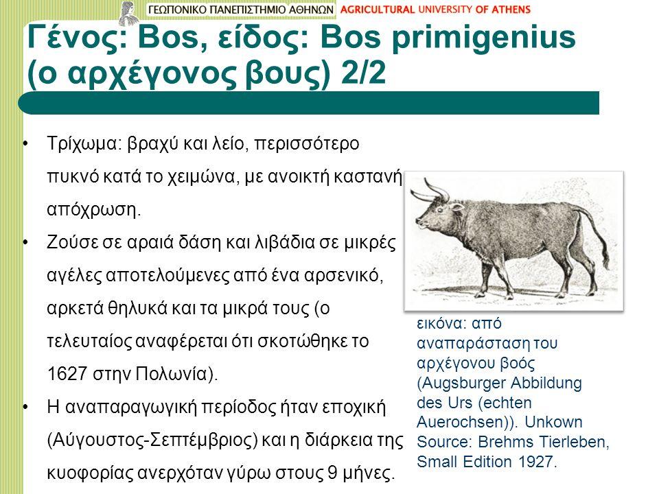 Γένος: Bos, είδος: Bos primigenius (o αρχέγονος βους) 2/2 Τρίχωμα: βραχύ και λείο, περισσότερο πυκνό κατά το χειμώνα, με ανοικτή καστανή απόχρωση.