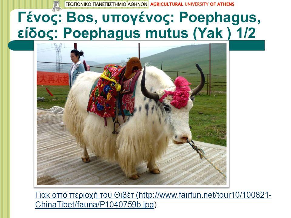 Γένος: Bos, υπογένος: Poephagus, είδος: Poephagus mutus (Yak ) 1/2 Γιακ από περιοχή του Θιβέτ (http://www.fairfun.net/tour10/100821- ChinaTibet/fauna/P1040759b.jpgΓιακ από περιοχή του Θιβέτ (http://www.fairfun.net/tour10/100821- ChinaTibet/fauna/P1040759b.jpg).