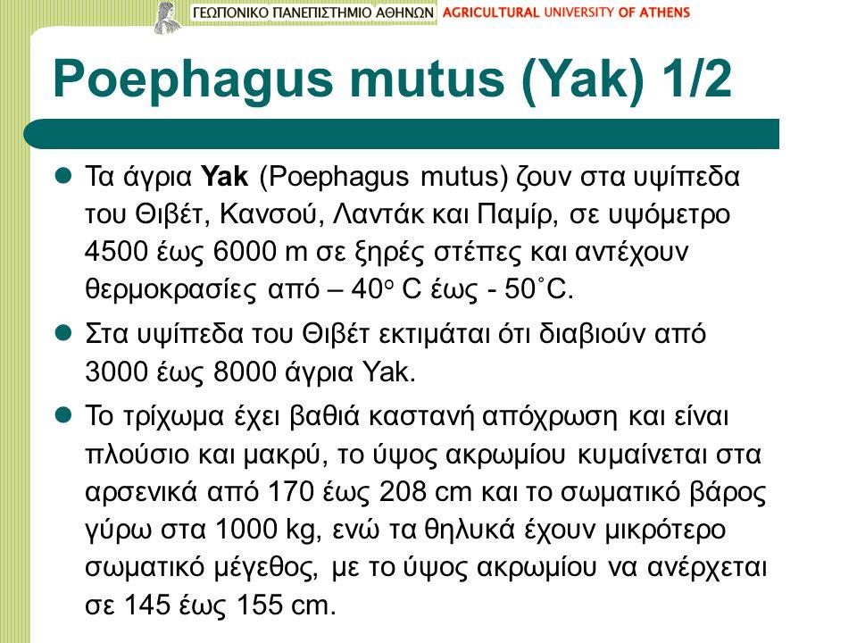 Poephagus mutus (Yak) 1/2 Τα άγρια Yak (Poephagus mutus) ζουν στα υψίπεδα του Θιβέτ, Κανσού, Λαντάκ και Παμίρ, σε υψόμετρο 4500 έως 6000 m σε ξηρές στέπες και αντέχουν θερμοκρασίες από – 40 ο C έως - 50˚C.