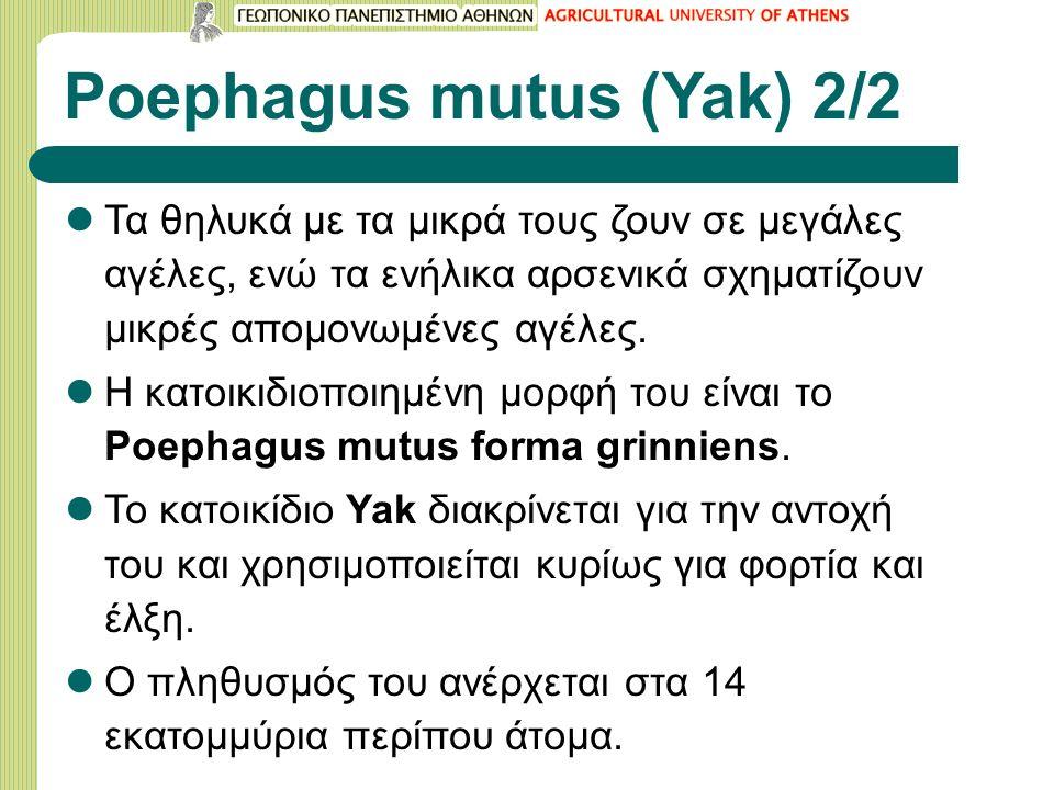 Poephagus mutus (Yak) 2/2 Τα θηλυκά με τα μικρά τους ζουν σε μεγάλες αγέλες, ενώ τα ενήλικα αρσενικά σχηματίζουν μικρές απομονωμένες αγέλες.