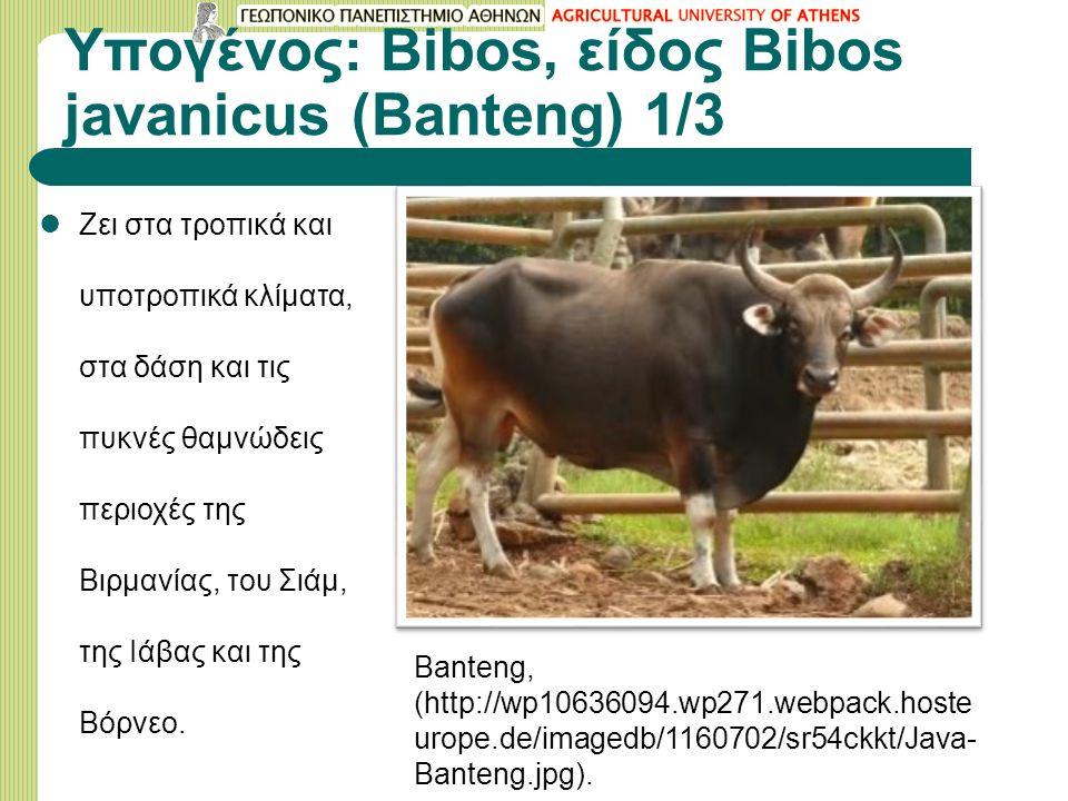 Υπογένος: Bibos, είδος Bibos javanicus (Banteng) 1/3 Ζει στα τροπικά και υποτροπικά κλίματα, στα δάση και τις πυκνές θαμνώδεις περιοχές της Βιρμανίας, του Σιάμ, της Ιάβας και της Βόρνεo.