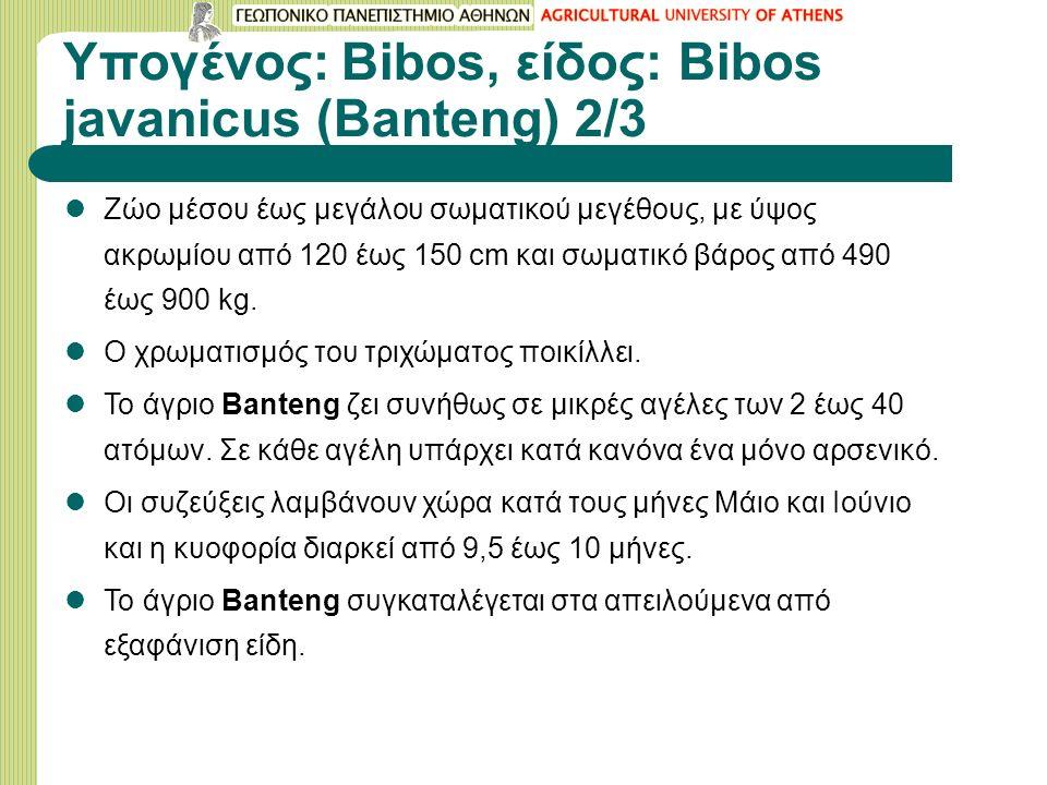 Υπογένος: Bibos, είδος: Bibos javanicus (Banteng) 2/3 Ζώο μέσου έως μεγάλου σωματικού μεγέθους, με ύψος ακρωμίου από 120 έως 150 cm και σωματικό βάρος