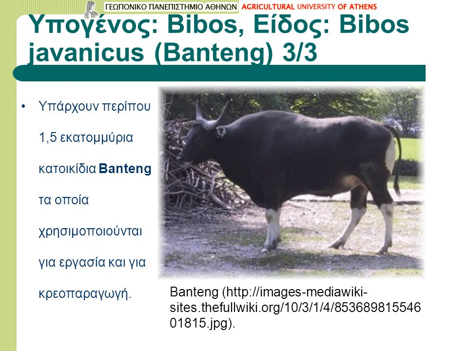 Υπογένος: Bibos, Είδος: Bibos javanicus (Banteng) 3/3 Banteng (http://images-mediawiki- sites.thefullwiki.org/10/3/1/4/853689815546 01815.jpg). Υπάρχο