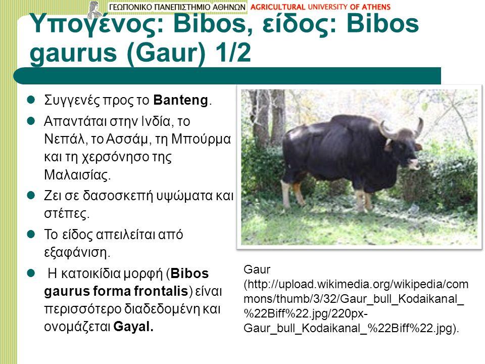 Υπογένος: Bibos, είδος: Bibos gaurus (Gaur) 1/2 Συγγενές προς το Banteng. Απαντάται στην Ινδία, το Νεπάλ, το Ασσάμ, τη Μπούρμα και τη χερσόνησο της Mα