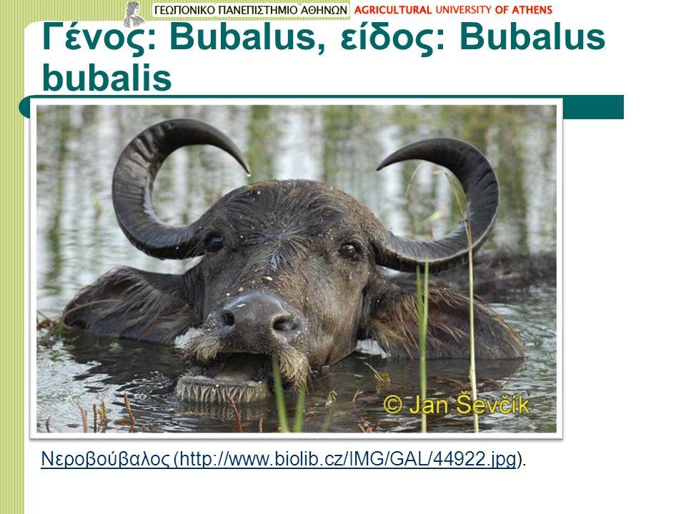 Γένος: Bubalus, είδος: Bubalus bubalis Νεροβούβαλος (http://www.biolib.cz/IMG/GAL/44922.jpgΝεροβούβαλος (http://www.biolib.cz/IMG/GAL/44922.jpg).