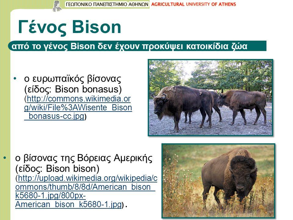 Γένος Bison από το γένος Bison δεν έχουν προκύψει κατοικίδια ζώα ο ευρωπαϊκός βίσονας (είδος: Bison bonasus) (http://commons.wikimedia.or g/wiki/File%3AWisente_Bison _bonasus-cc.jpg )http://commons.wikimedia.or g/wiki/File%3AWisente_Bison _bonasus-cc.jpg ο βίσονας της Βόρειας Αμερικής (είδος: Bison bison) (http://upload.wikimedia.org/wikipedia/c ommons/thumb/8/8d/American_bison_ k5680-1.jpg/800px- American_bison_k5680-1.jpg ).http://upload.wikimedia.org/wikipedia/c ommons/thumb/8/8d/American_bison_ k5680-1.jpg/800px- American_bison_k5680-1.jpg