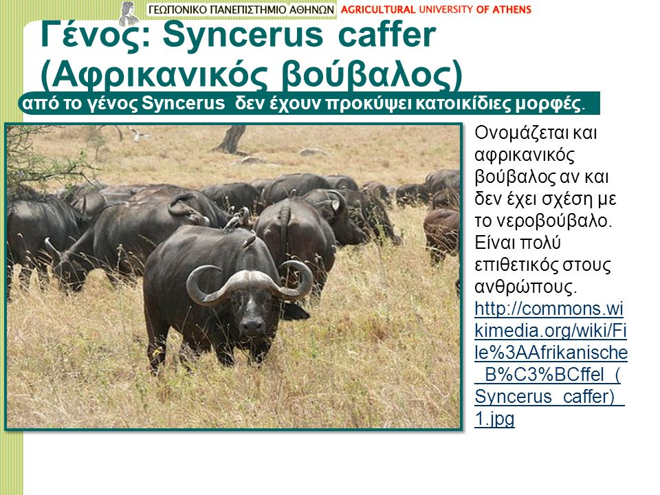 Γένος: Syncerus caffer (Aφρικανικός βούβαλος) από το γένος Syncerus δεν έχουν προκύψει κατοικίδιες μορφές.