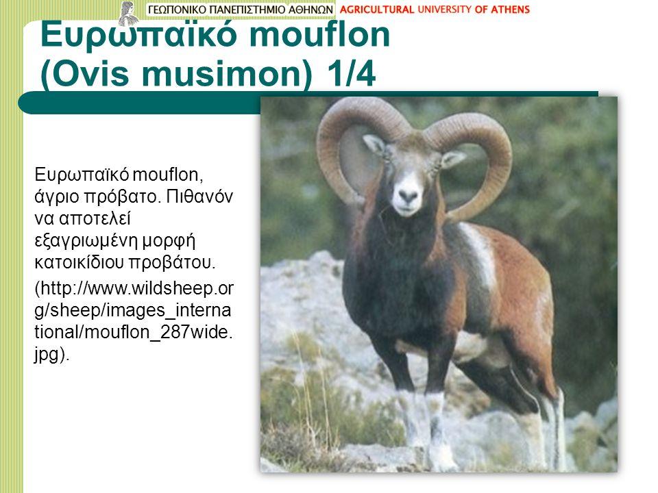 Ευρωπαϊκό mouflon (Οvis musimon) 1/4 Ευρωπαϊκό mouflon, άγριο πρόβατο. Πιθανόν να αποτελεί εξαγριωμένη μορφή κατοικίδιου προβάτου. (http://www.wildshe