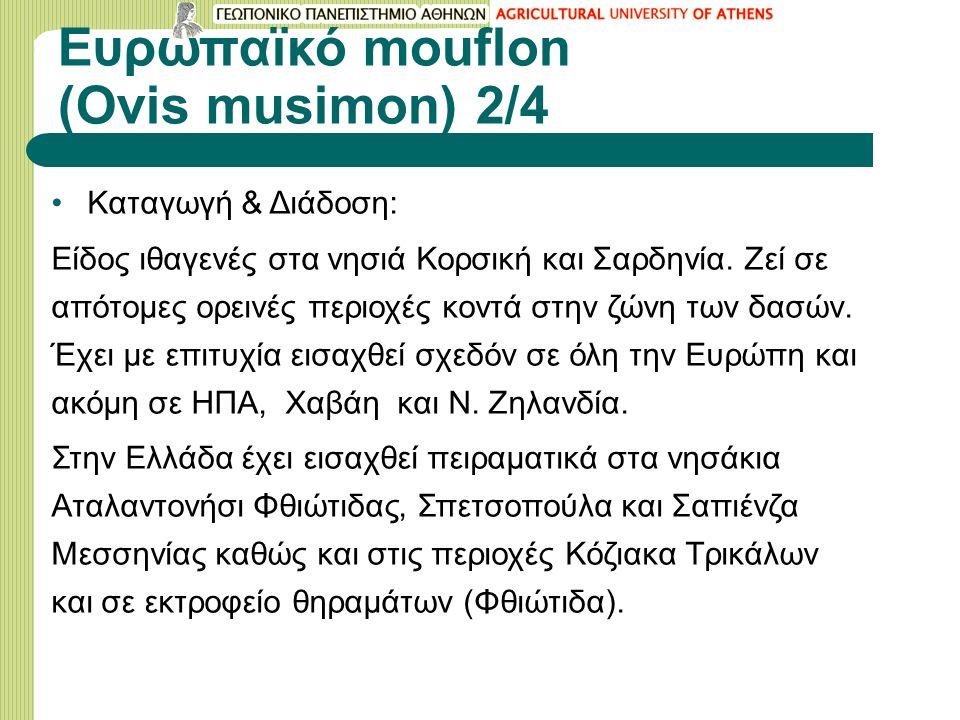 Ευρωπαϊκό mouflon (Ovis musimon) 2/4 Καταγωγή & Διάδοση: Είδος ιθαγενές στα νησιά Κορσική και Σαρδηνία. Ζεί σε απότομες ορεινές περιοχές κοντά στην ζώ