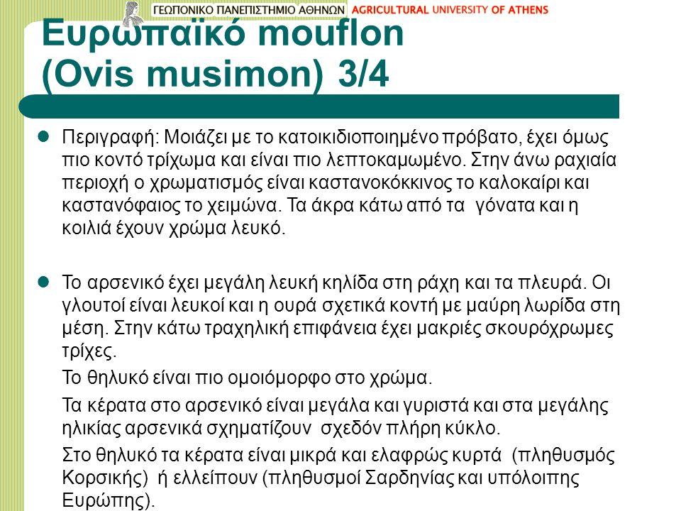 Ευρωπαϊκό mouflon (Ovis musimon) 3/4 Περιγραφή: Μοιάζει με το κατοικιδιοποιημένο πρόβατο, έχει όμως πιο κοντό τρίχωμα και είναι πιο λεπτοκαμωμένο. Στη