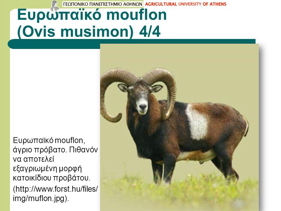 Ευρωπαϊκό mouflon (Ovis musimon) 4/4 Ευρωπαϊκό mouflon, άγριο πρόβατο. Πιθανόν να αποτελεί εξαγριωμένη μορφή κατοικίδιου προβάτου. (http://www.forst.h