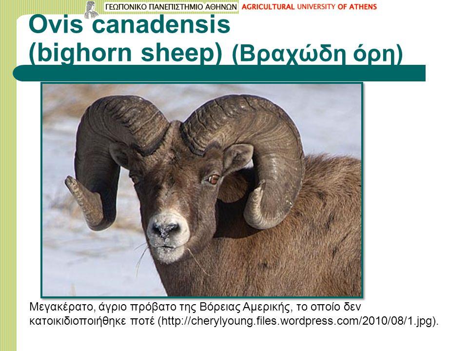 Ovis canadensis (bighorn sheep) (Βραχώδη όρη) Μεγακέρατο, άγριο πρόβατο της Βόρειας Αμερικής, το οποίο δεν κατοικιδιοποιήθηκε ποτέ (http://cherylyoung.files.wordpress.com/2010/08/1.jpg).