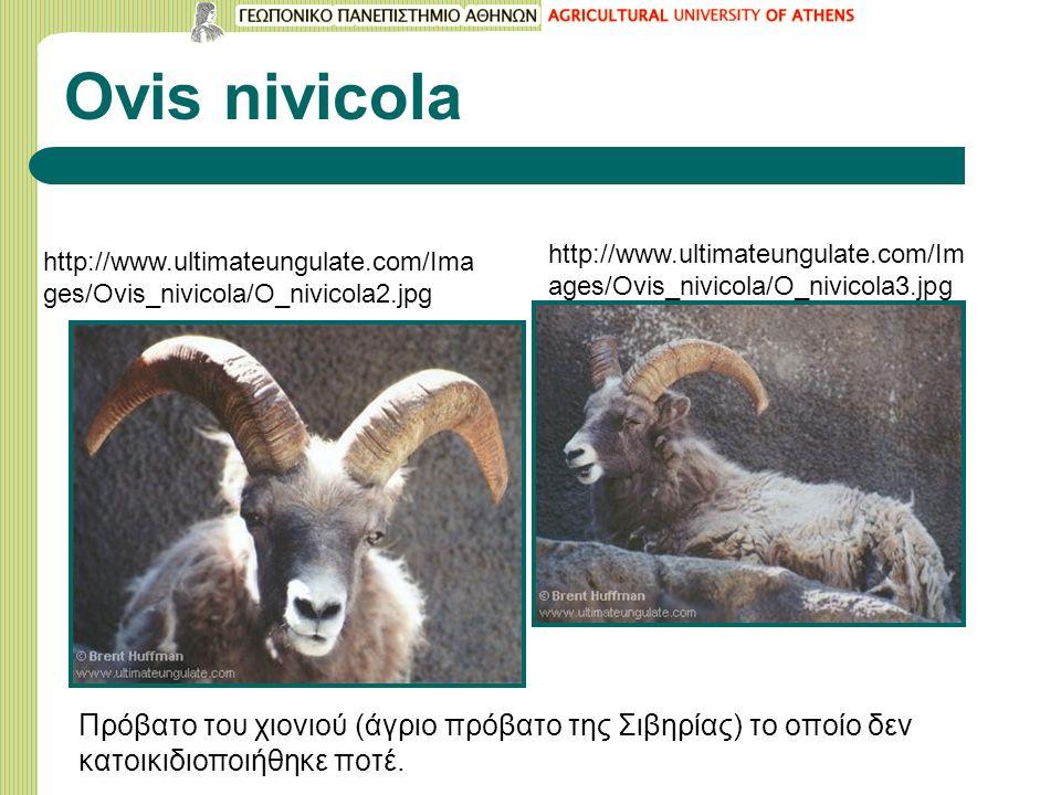 Ovis nivicola http://www.ultimateungulate.com/Ima ges/Ovis_nivicola/O_nivicola2.jpg http://www.ultimateungulate.com/Im ages/Ovis_nivicola/O_nivicola3.jpg Πρόβατο του χιονιού (άγριο πρόβατο της Σιβηρίας) το οποίο δεν κατοικιδιοποιήθηκε ποτέ.