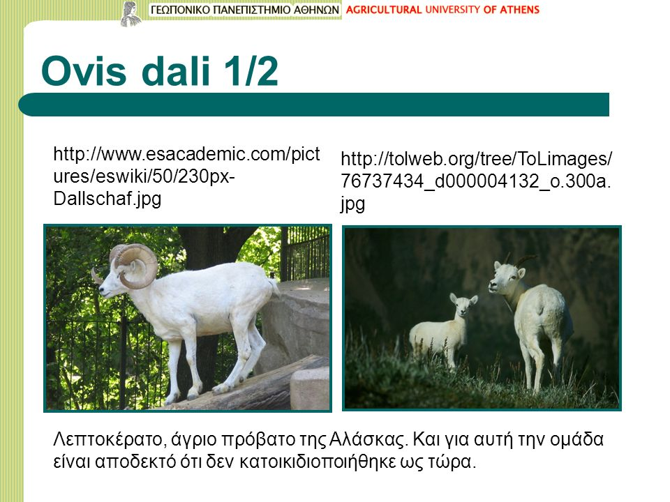 Ovis dali 1/2 http://www.esacademic.com/pict ures/eswiki/50/230px- Dallschaf.jpg http://tolweb.org/tree/ToLimages/ 76737434_d000004132_o.300a.